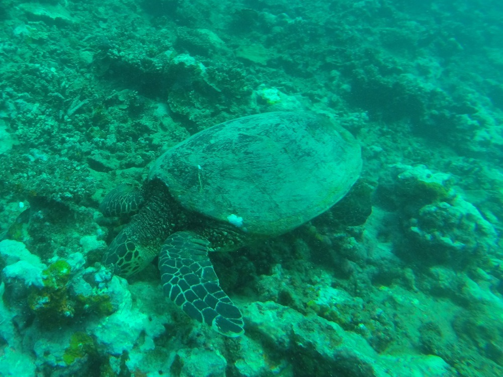 Diving with turtles in Samoa