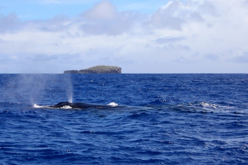 swim with whales in tonga