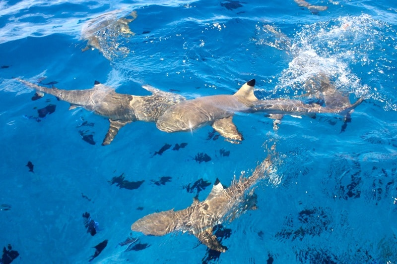 sharks on the Bora Bora lagoon tour