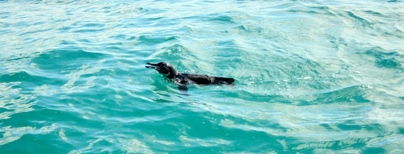 SWIMMING-WITH-GALAPAGOS-PENGUINS