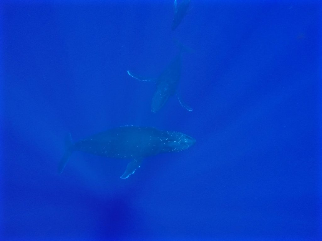 swimming-with-whales-tonga