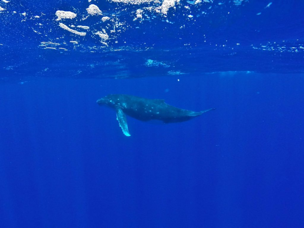 Swimming with humpback whales in Tonga feat img