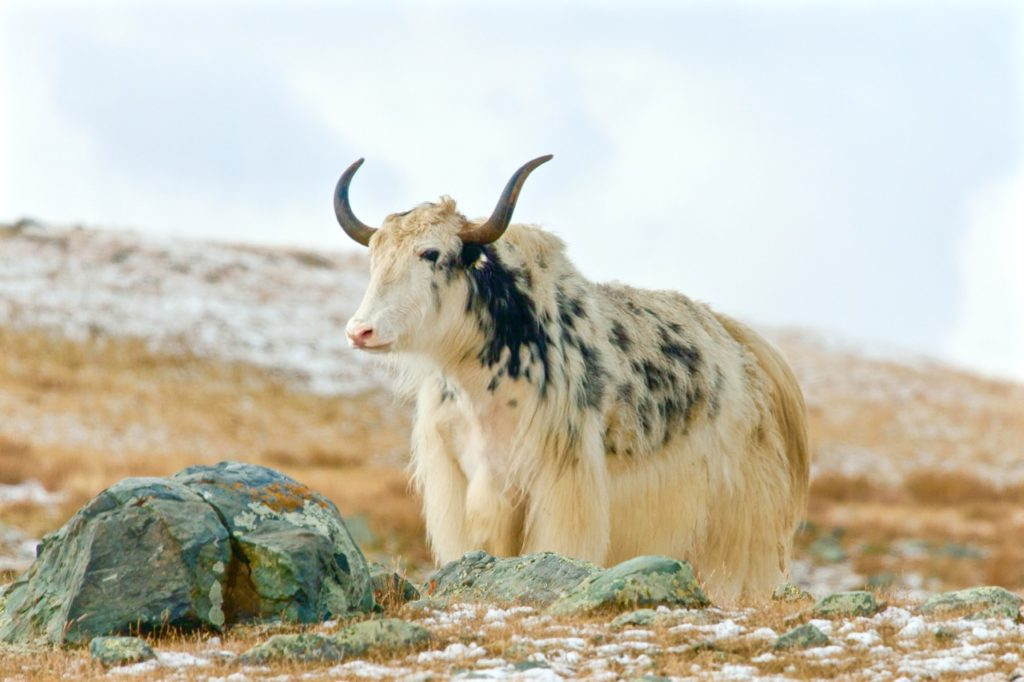 Hardest language to learn: Mongolian Yak
