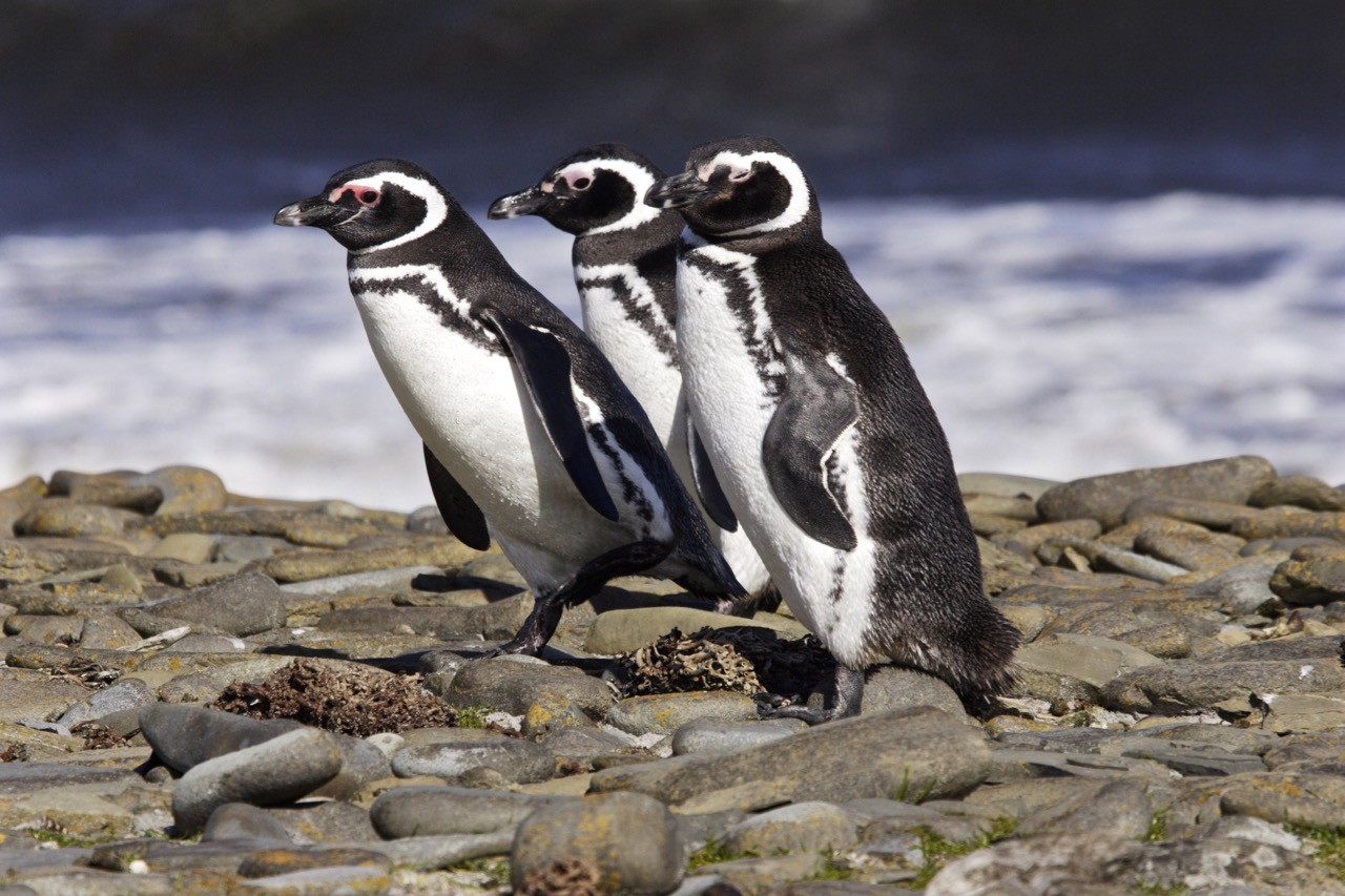 magellanic penguins in Punta Arenas