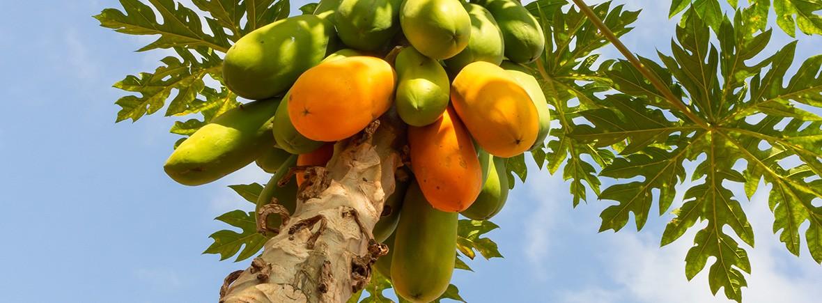 dont-offer-papaya
