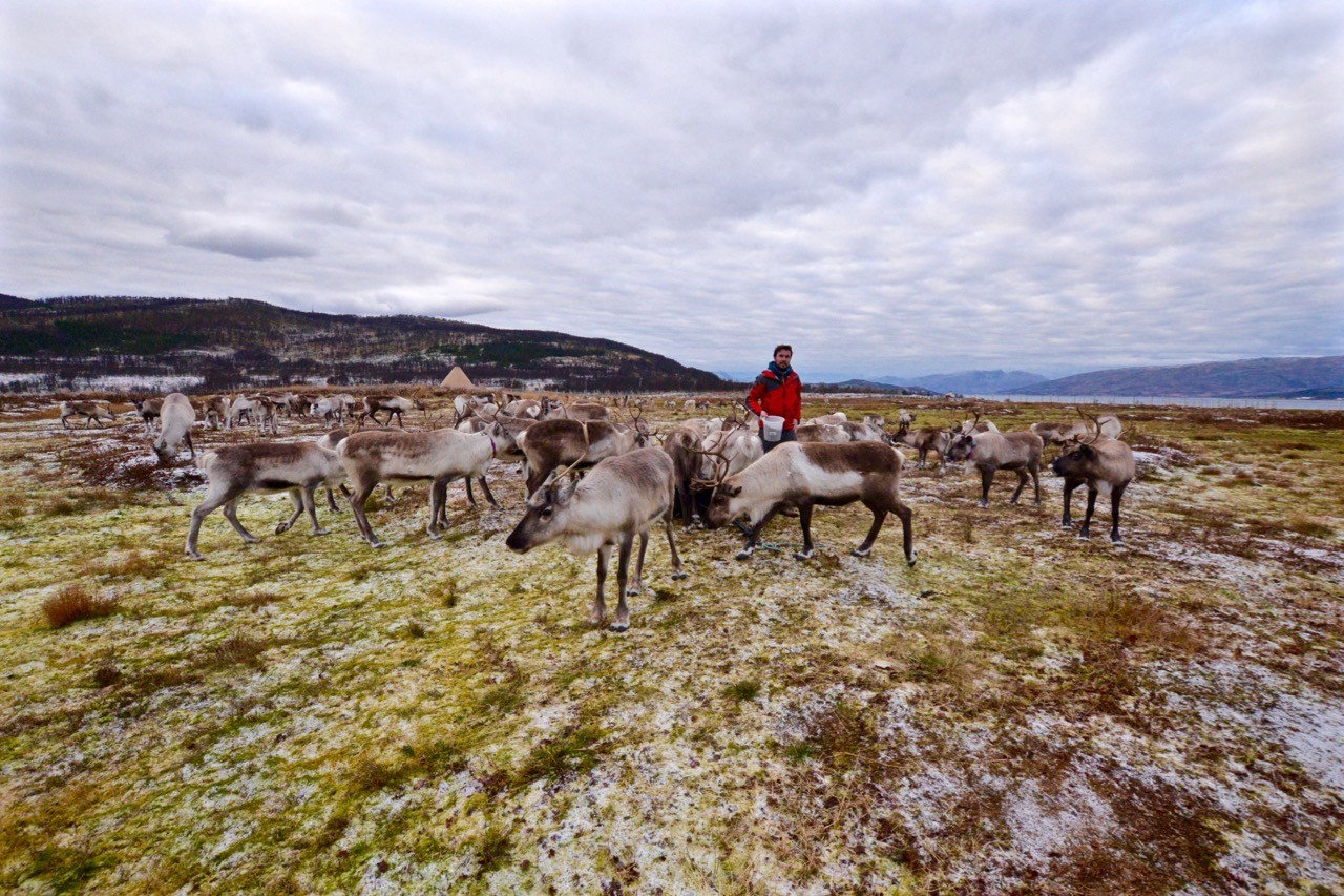 Feeding Arctic reindeer in Tromso