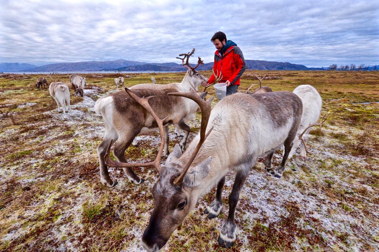 Arctic-reindeer-in-Tromso