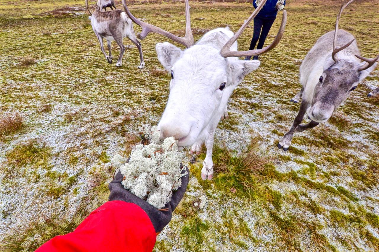 _feeding-arctic-reindeer-in-tromso-19