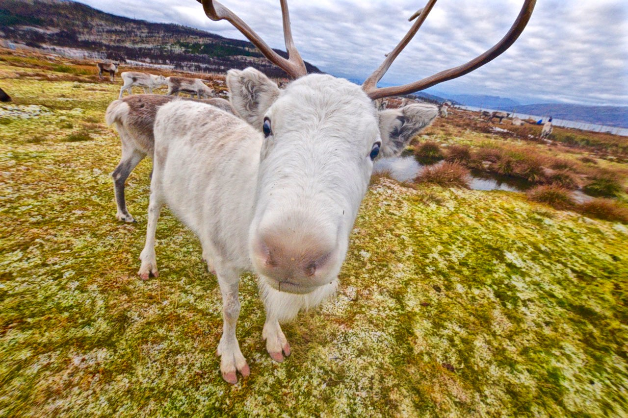 A silly looking Arctic reindeer in Tromso