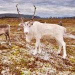 arctic reindeer tromso
