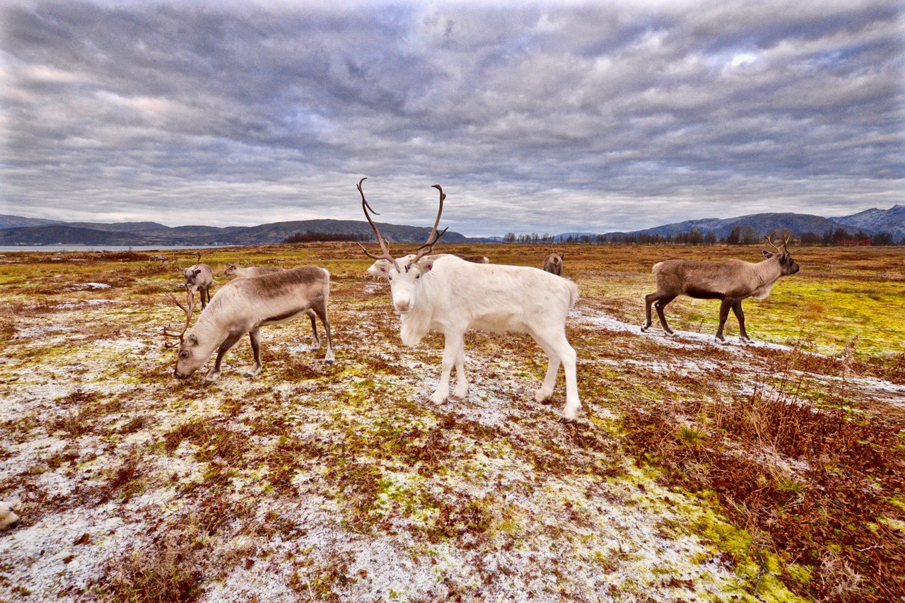 A beautiful Arctic reindeer in Tromso