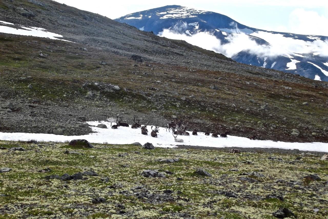 Climbing Galdhøpiggen in Jotunheimen National Park Norway - reindeer