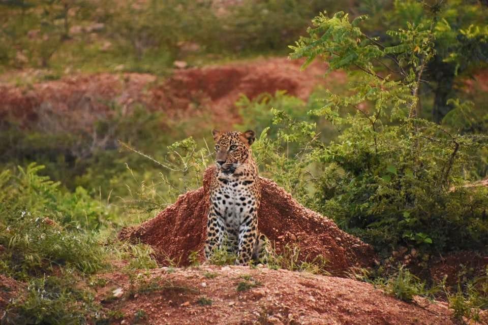 Spotting leopards at Yala National Park: 10 practical tips ...