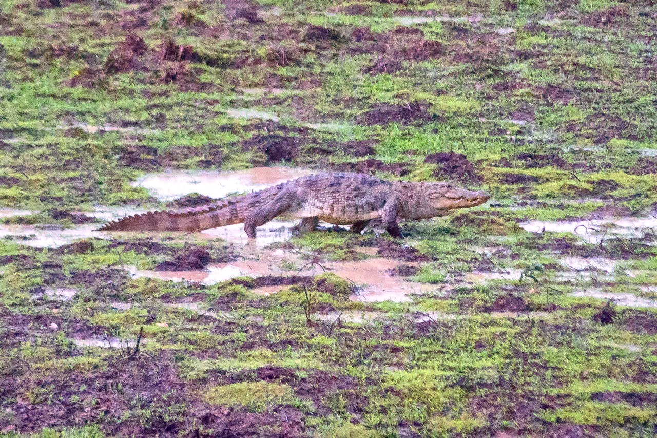 A crocodile shot by Peter's six-year-old zoom lens