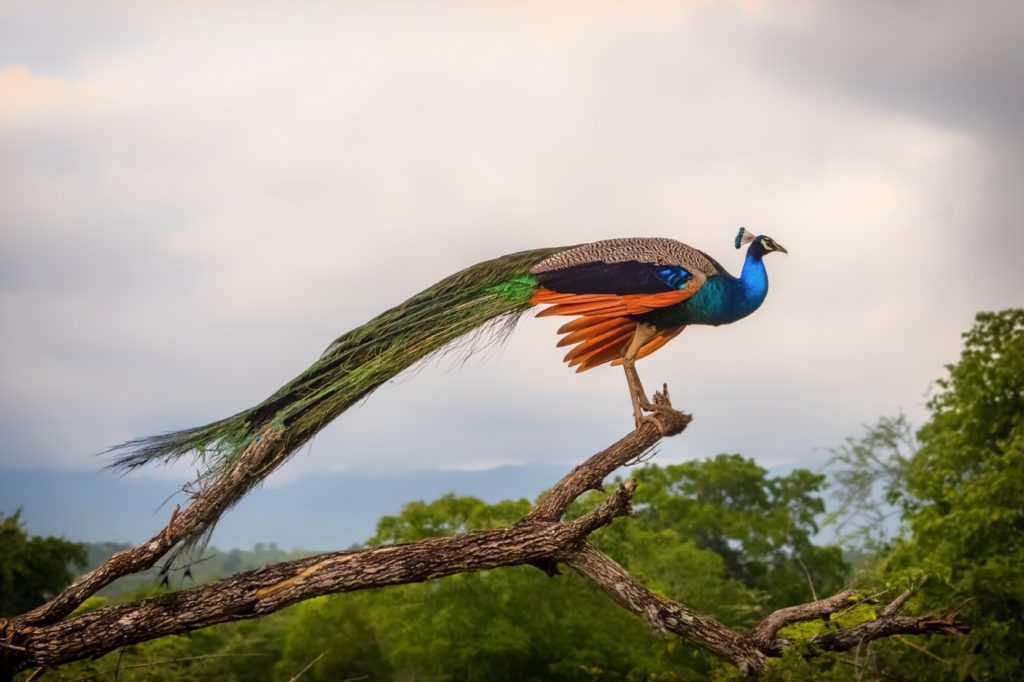 best national parks in sri lanka peacock