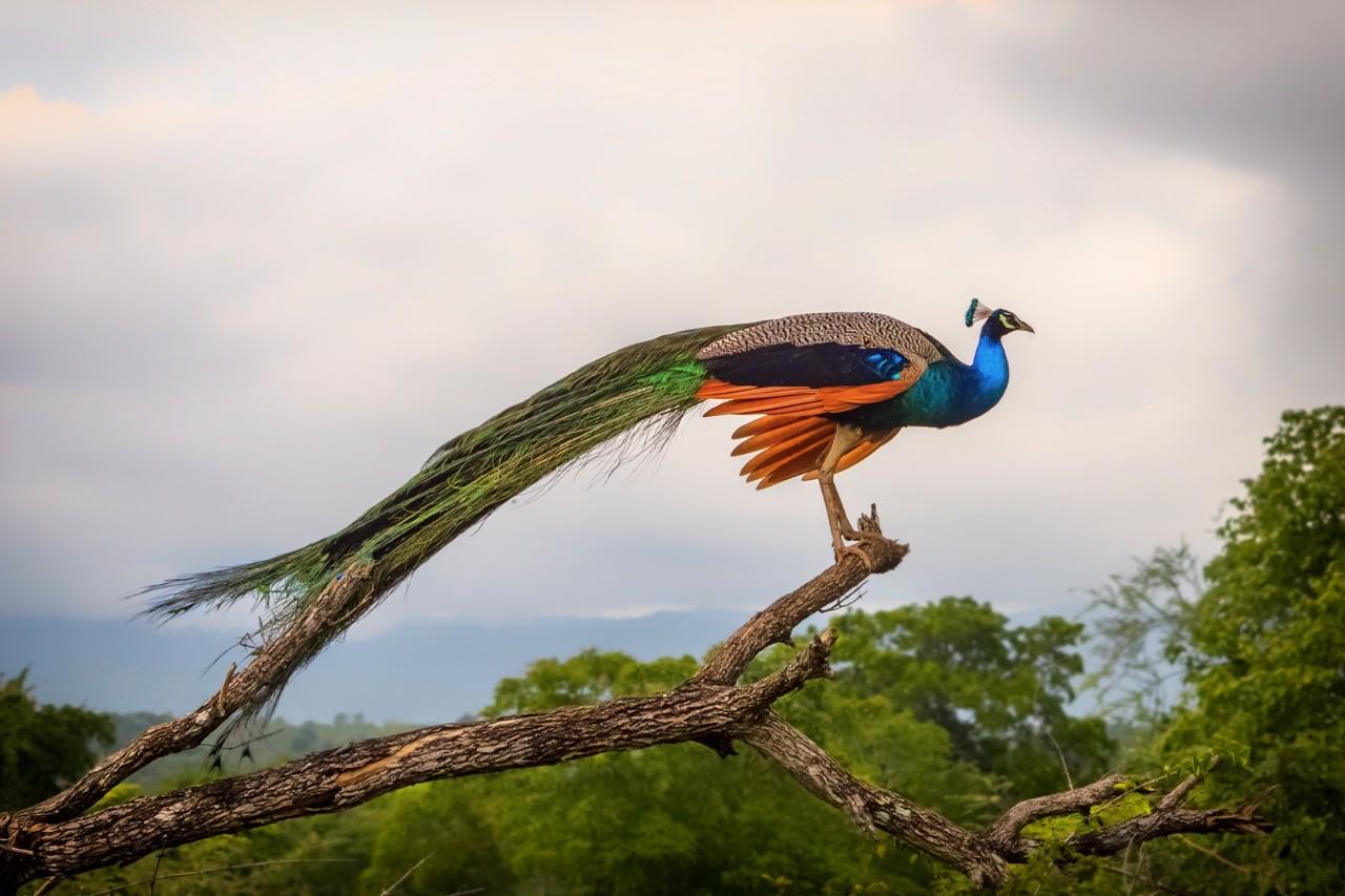 best national parks in sri lanka peacock