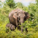 Best national parks in Sri Lanka for elephants