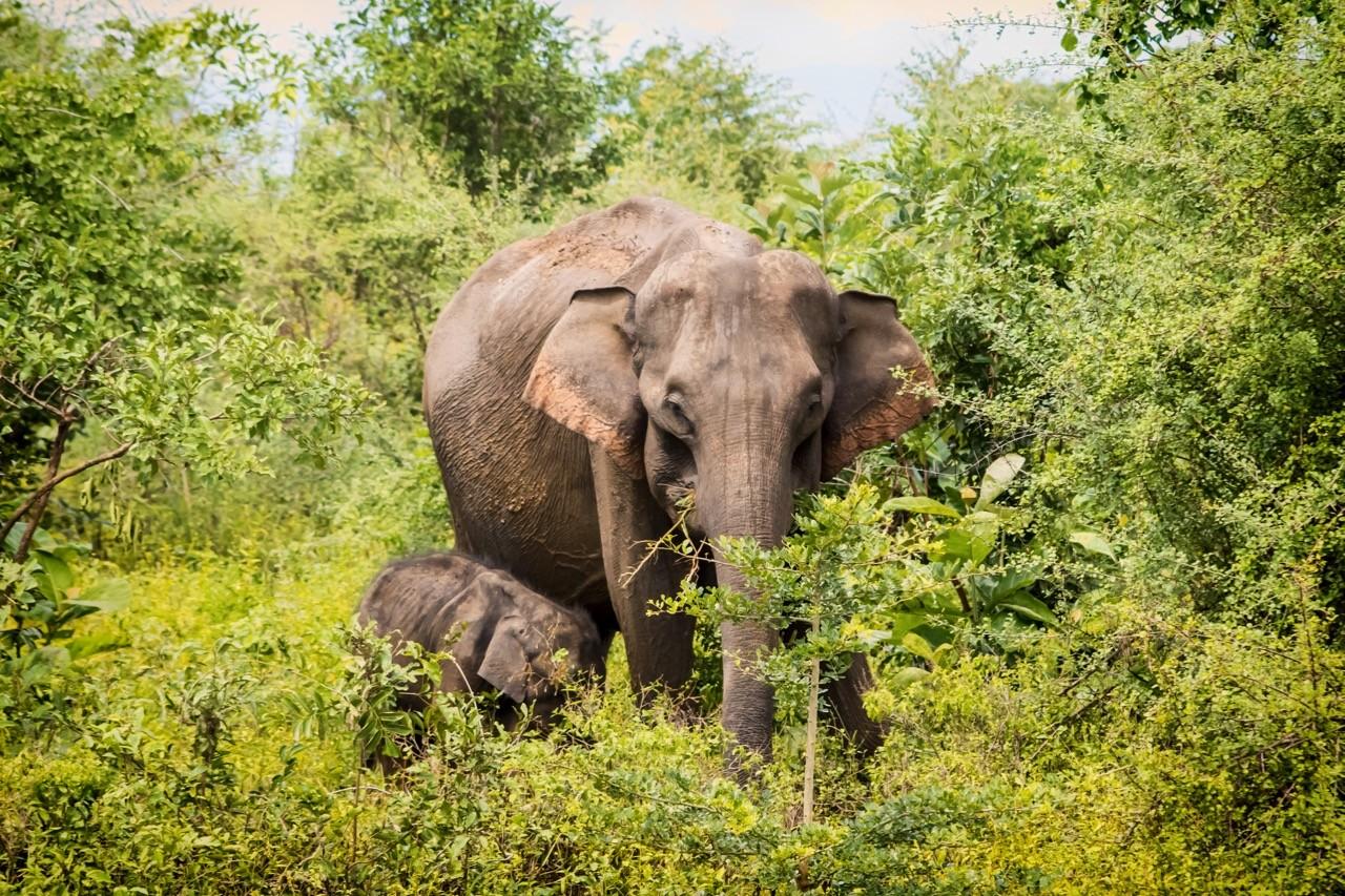 Best national parks in Sri Lanka for elephants