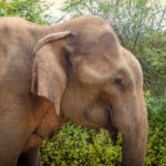 interesting facts about Sri Lanka elephants