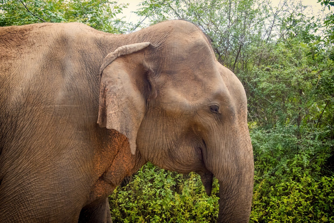 interesting facts about Sri Lanka elephants