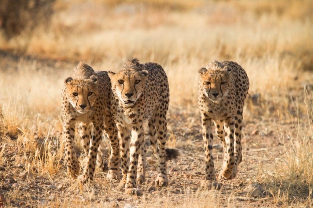 Countries for spotting rare wildlife - cheetahs namibia