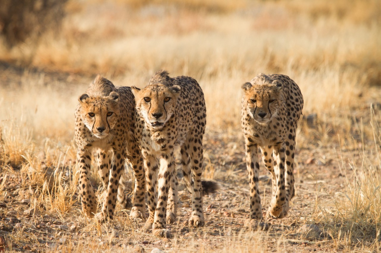 Countries for spotting rare wildlife - cheetahs namibia