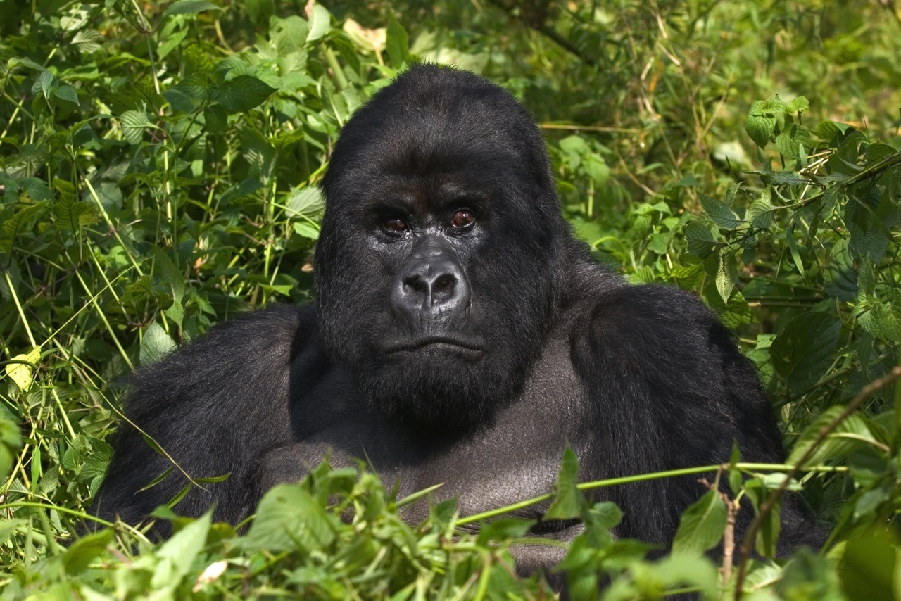 Countries for spotting rare wildlife - gorillas uganda rwanda