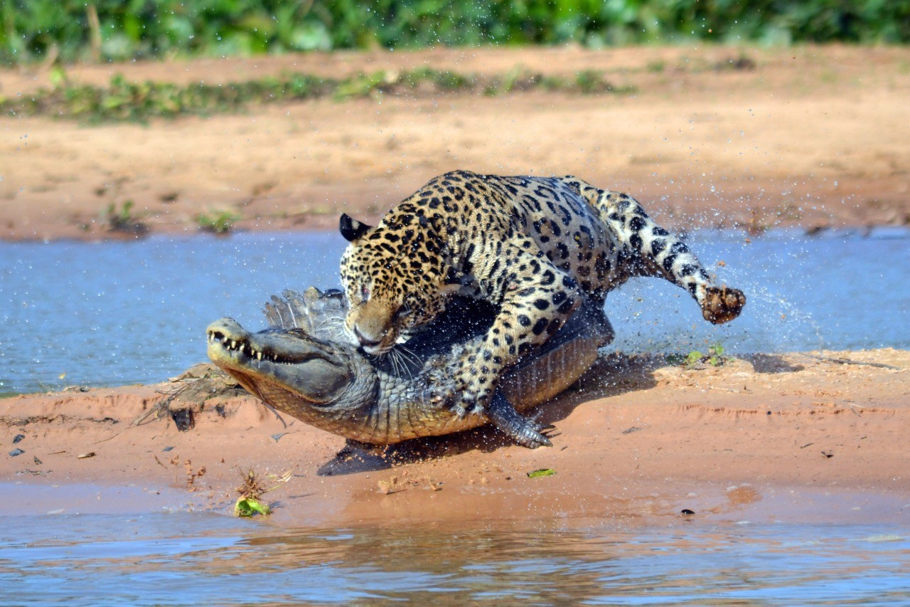 Countries for spotting rare wildlife - jaguars brazil