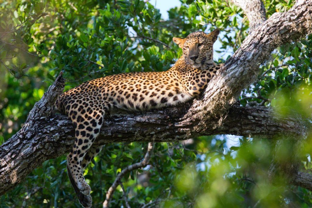 Countries for spotting rare wildlife - leopards sri lanka