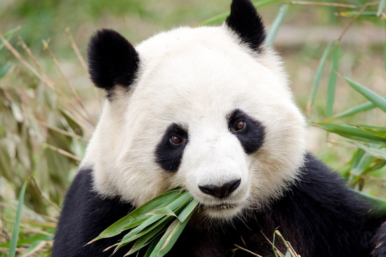 Countries for spotting rare wildlife - pandas china