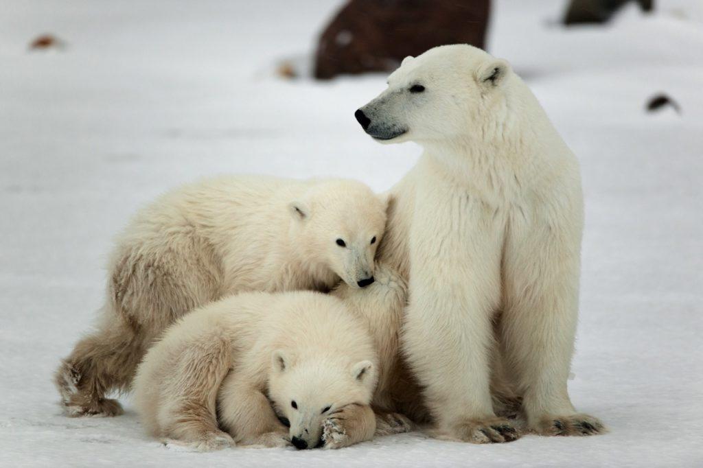Countries for spotting rare wildlife - polar bears canada