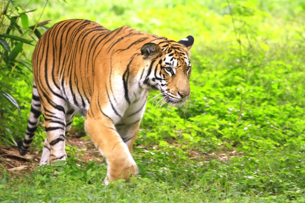 Countries for spotting rare wildlife - tigers india