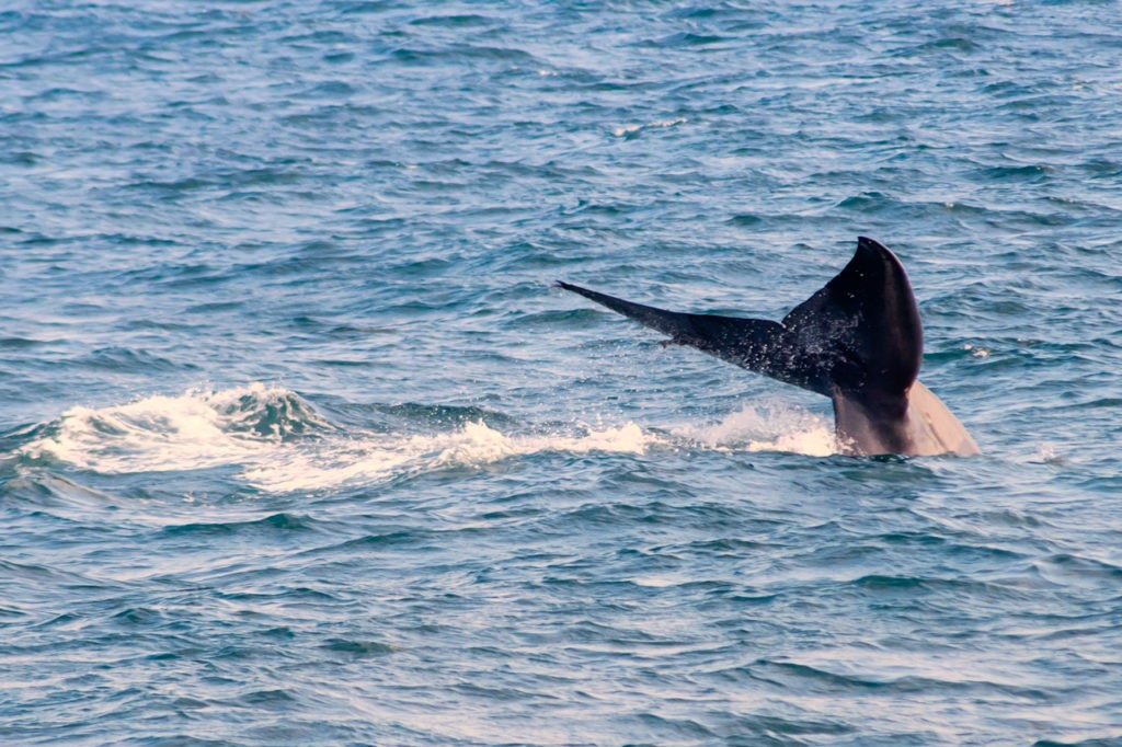 Things-to-do-in-Trincomalee-Sri-Lanka-whale-watching