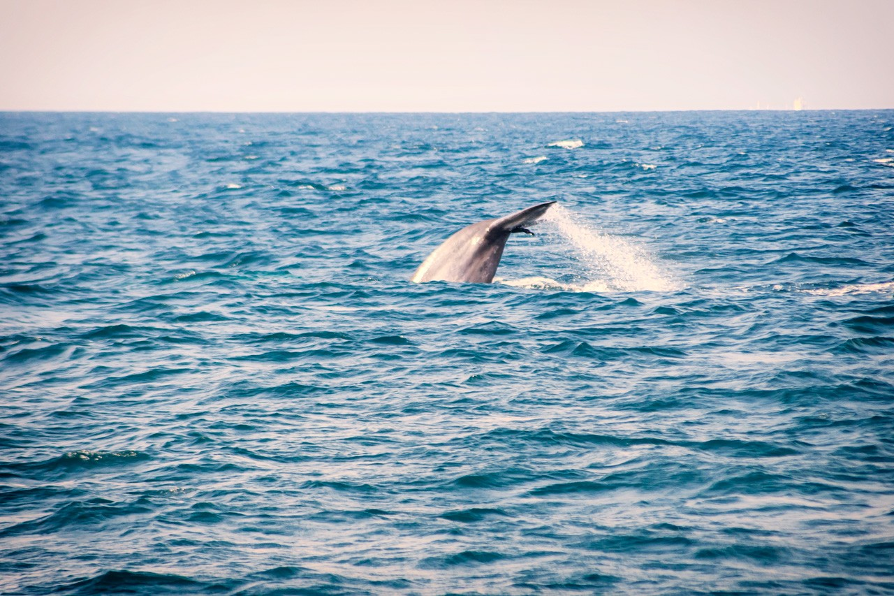 A whale dives into the water