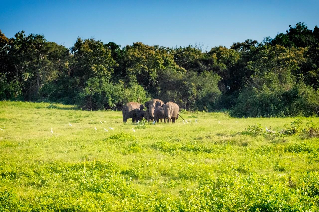 best-national-parks-in-Sri-Lanka--Kaudulla-elephants