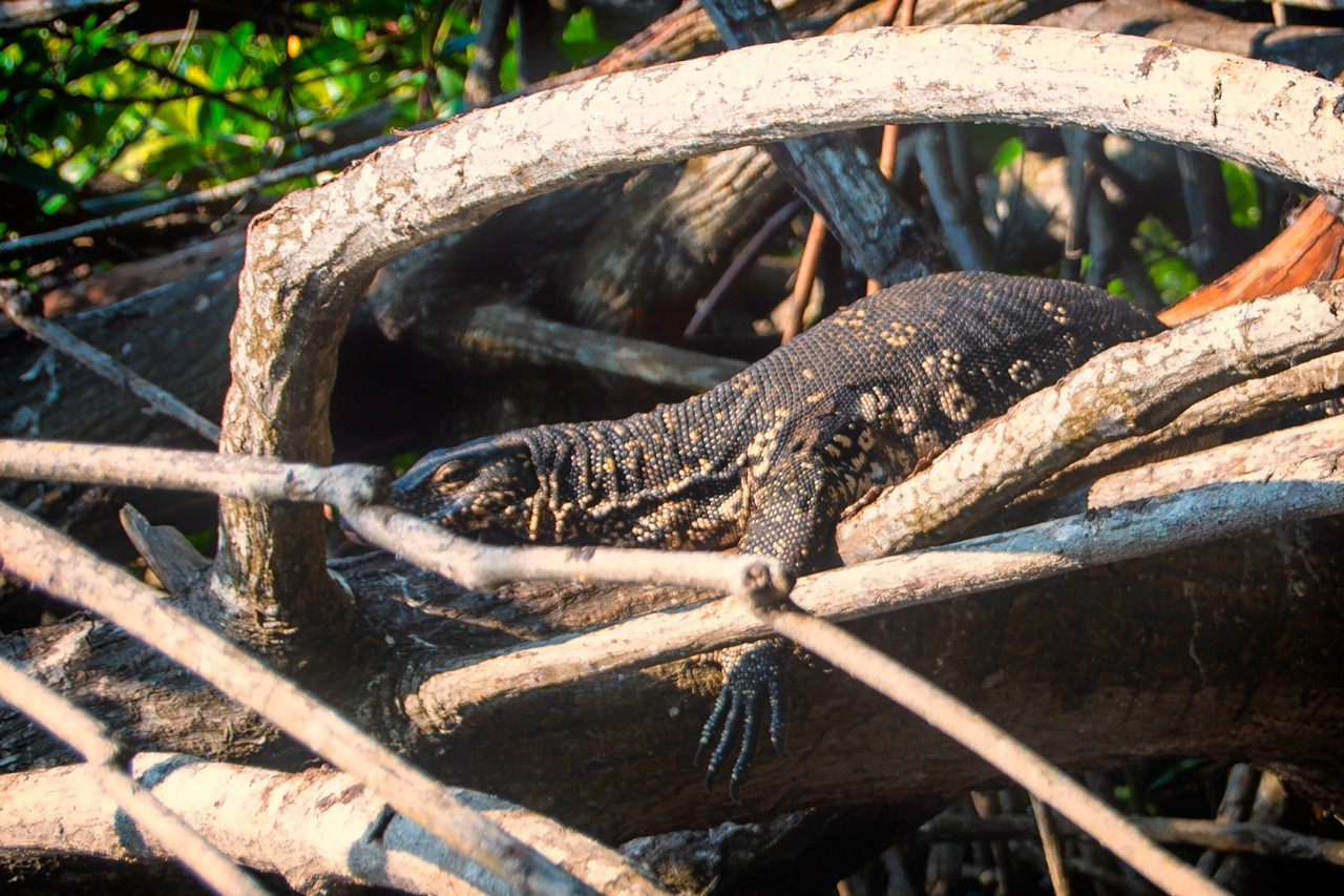 The Asian water monitor seen on a Bentota river safari