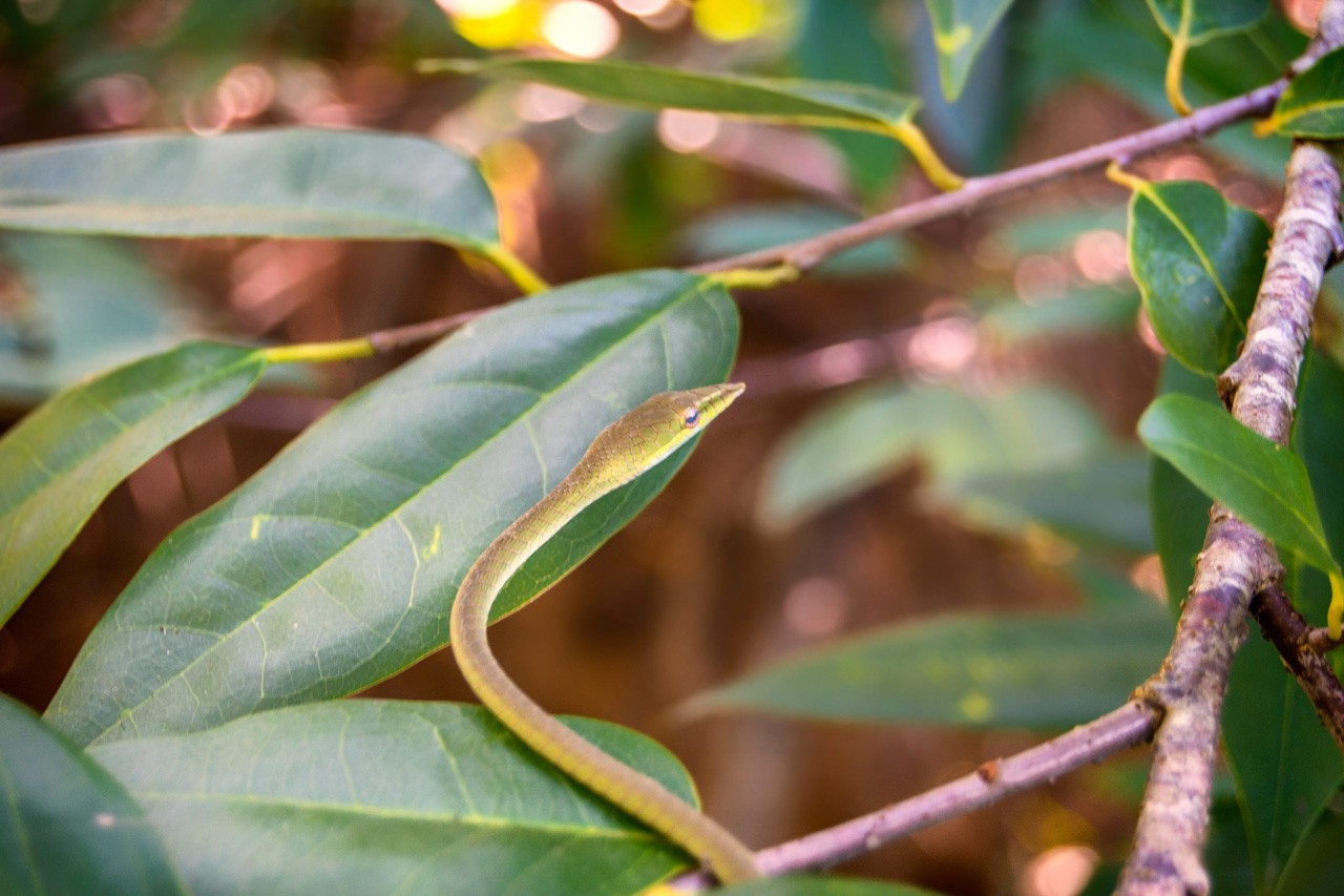A tiny snake seen on our Bentota river safari