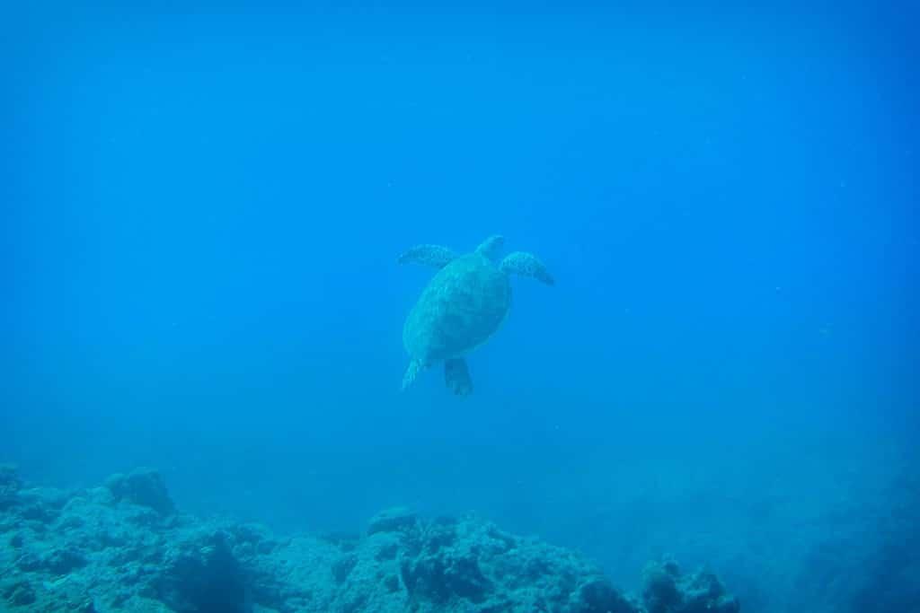 a turtle seen  Diving at Trou aux Biches, Mauritius