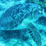 Turtles seen while diving at Trou aux Biches
