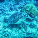 a turtle seen Diving at Trou aux Biches, Mauritius