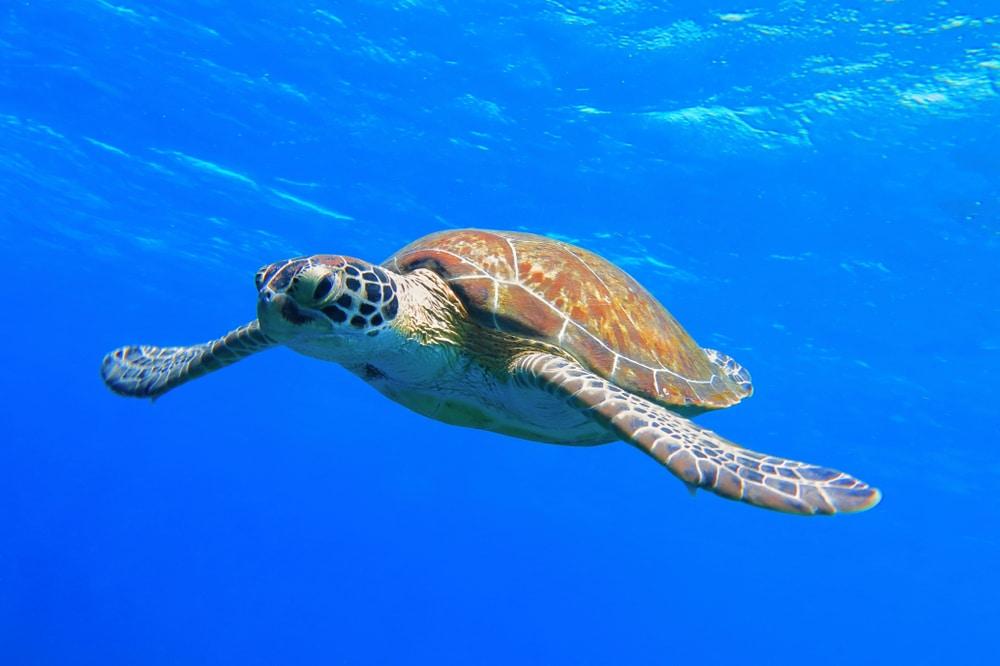 turtle mauritius lead image