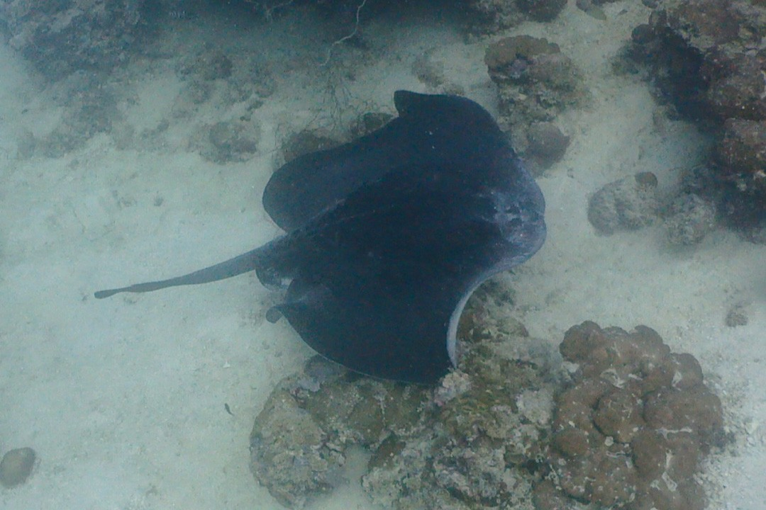 A ray sweeps across the seabed while diving in Djibouti