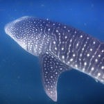 interesting facts about Djibouti whale sharks in djibouti close up