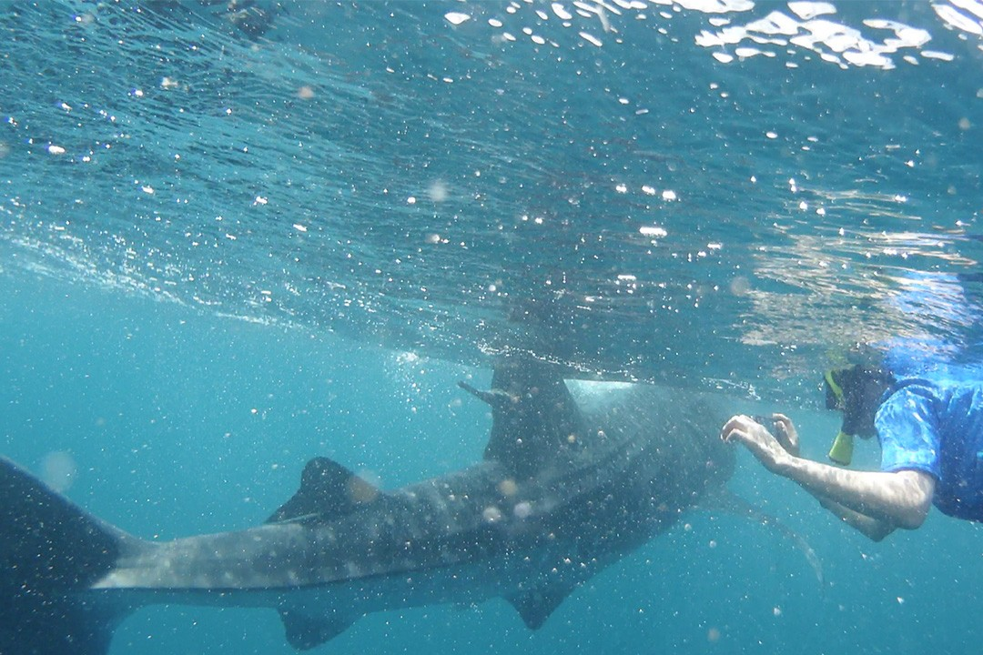 A whale shark swims past Kia