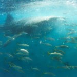 Swimming with whale sharks in djibouti eating fish