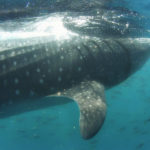 Swimming with whale sharks in djibouti very close