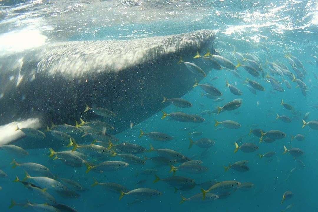 Swimming with whale sharks in djibouti amid fish