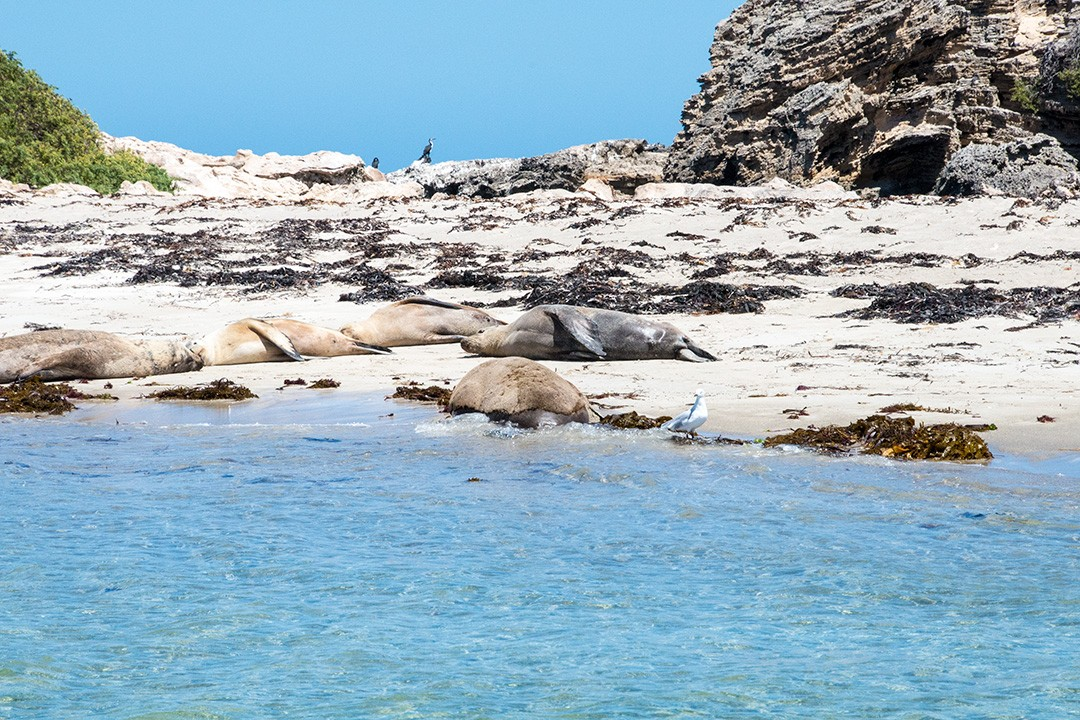 Sea lions seen on the way to Penguin Island from Perth