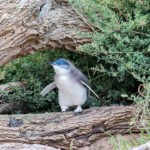 A curious penguin on Phillip Island
