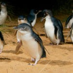 Phillip Island: the day we saw 613 penguins